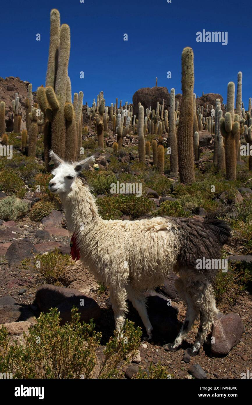 Bolivia, department of Potosi, altiplano, salar de Uyuni, lama on the hill of Incahuasi bristling with giant catus, - Stock Image