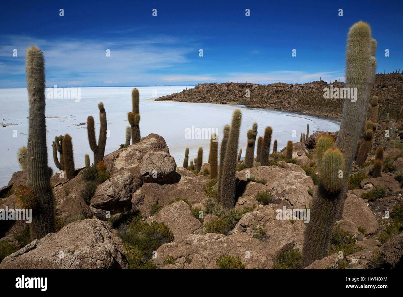 Bolivia, department of Potosi, altiplano, salar de Uyuni, hill of Incahuasi bristling with giant catus, in the middle - Stock Image