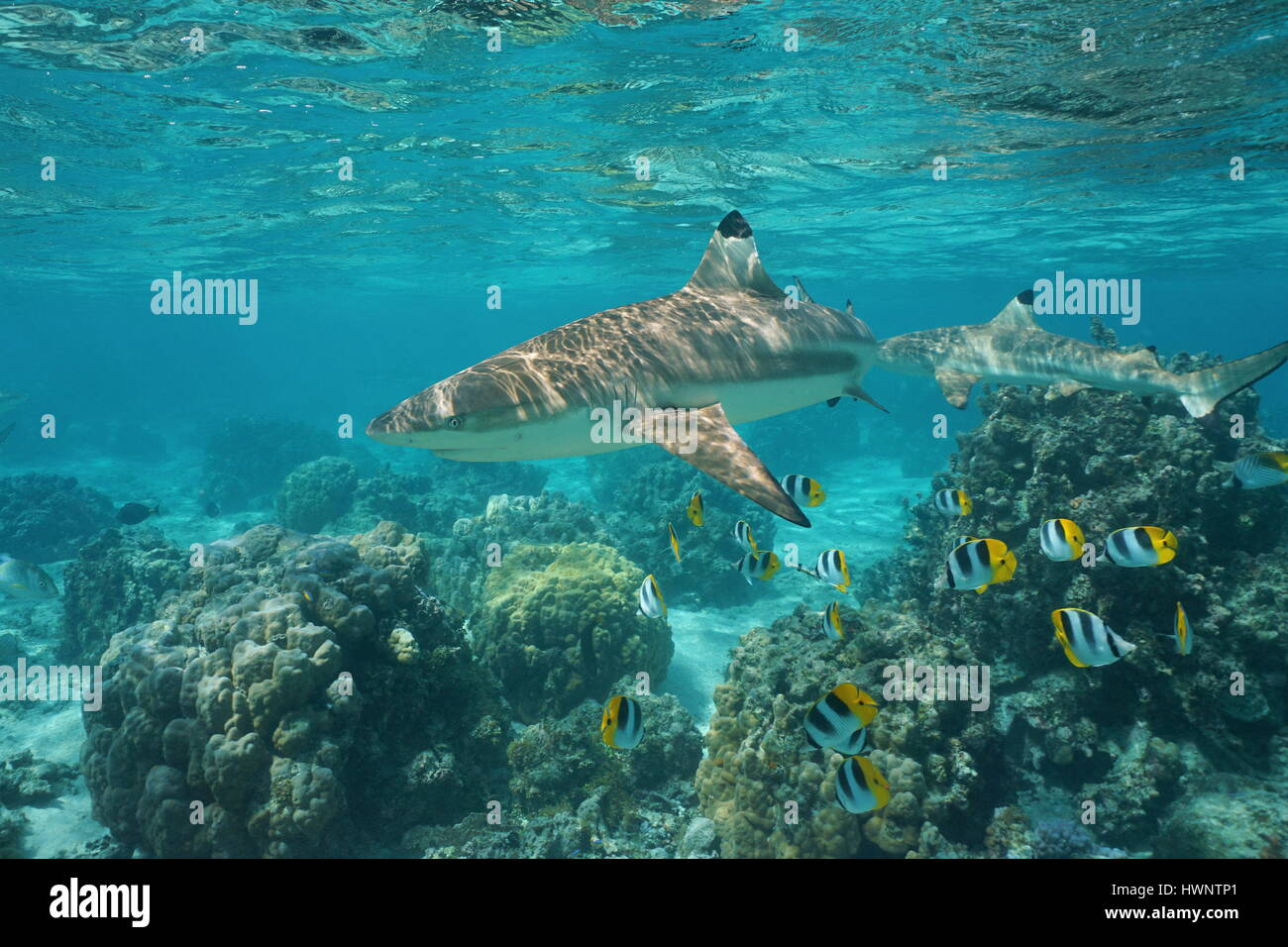 Blacktip reef shark with tropical fish Pacific double-saddle butterflyfish and lobe corals underwater in a lagoon, - Stock Image