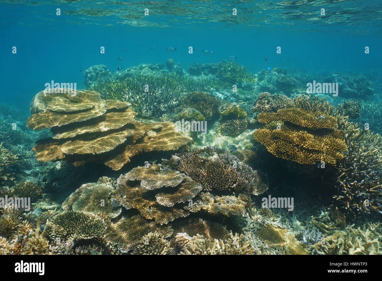 Coral reef of New Caledonia underwater in the lagoon of Grande-Terre island, south Pacific ocean, Oceania - Stock Image