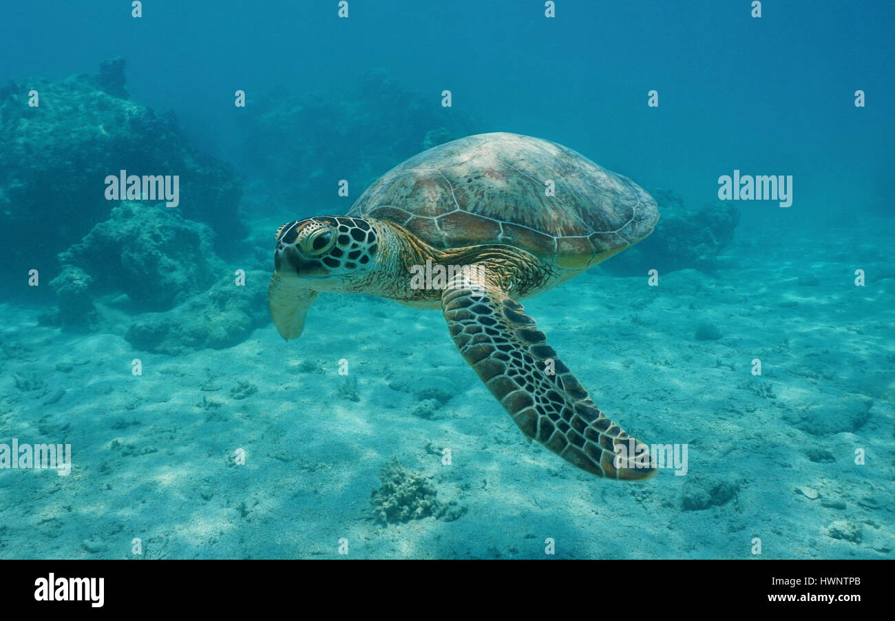 A green sea turtle underwater, Chelonia mydas, lagoon of Bora Bora, Pacific ocean, French Polynesia - Stock Image