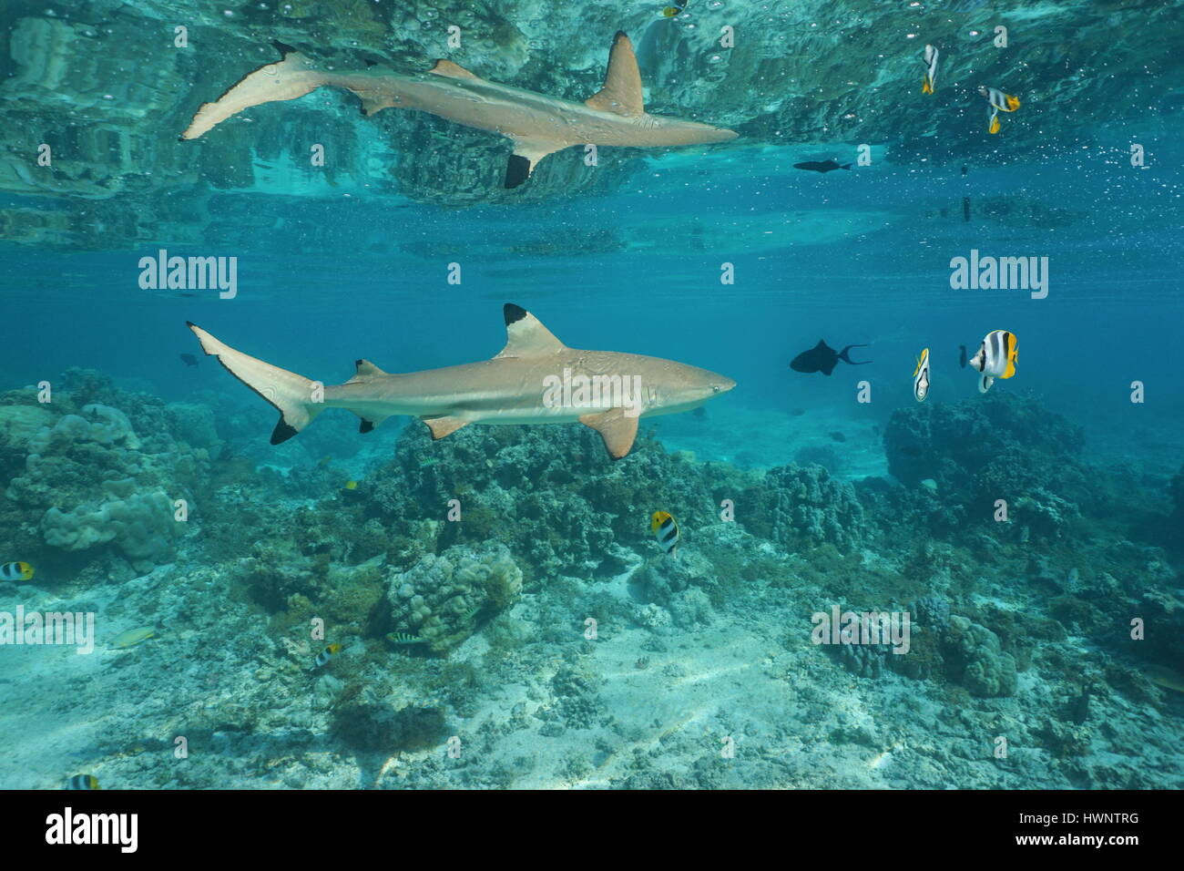 A blacktip reef shark with tropical fish underwater reflected below the calm water surface, south Pacific ocean, - Stock Image