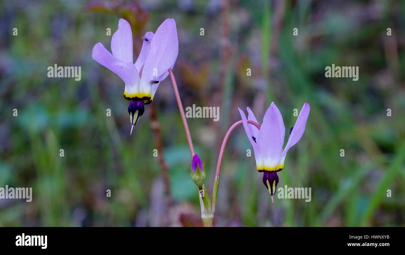 Pink shooting stars in nature in California, with flies on them Stock Photo