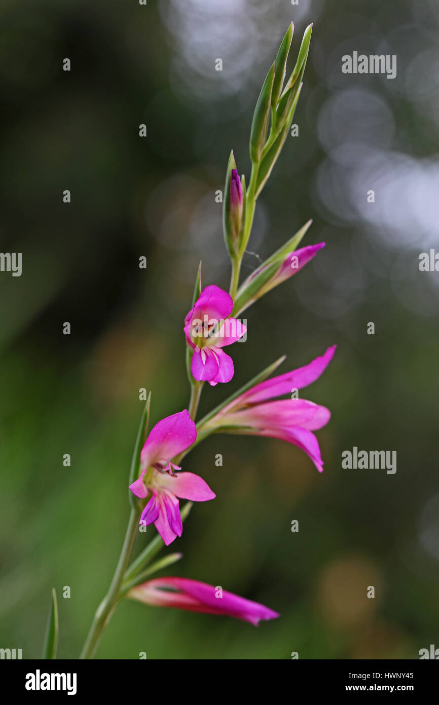 wild gladioli aka gaudy glad and gladiolus byzantinus also sword lily in italy - Stock Image