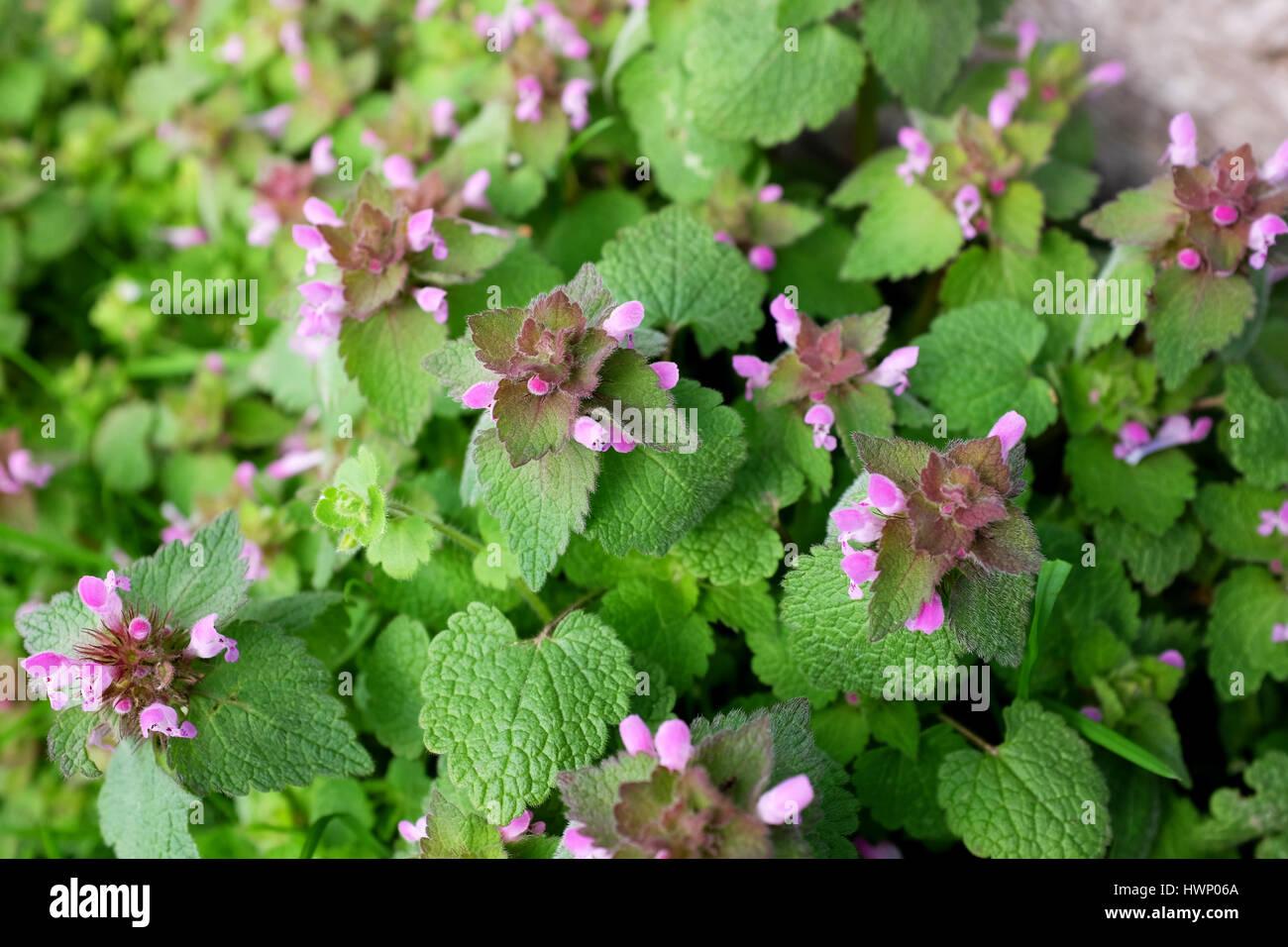 Purple dead nettle plant verdant herbaceous weed with pink flowers purple dead nettle plant verdant herbaceous weed with pink flowers mightylinksfo