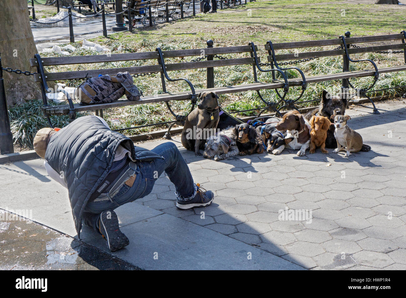 A dog walker and trainer poses 8 dogs for a group photo in Washington Square Park in Greenwich Village, New York - Stock Image