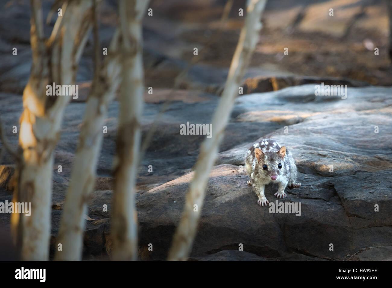 Northern Quoll - The Kimberley, Western Australia - Stock Image