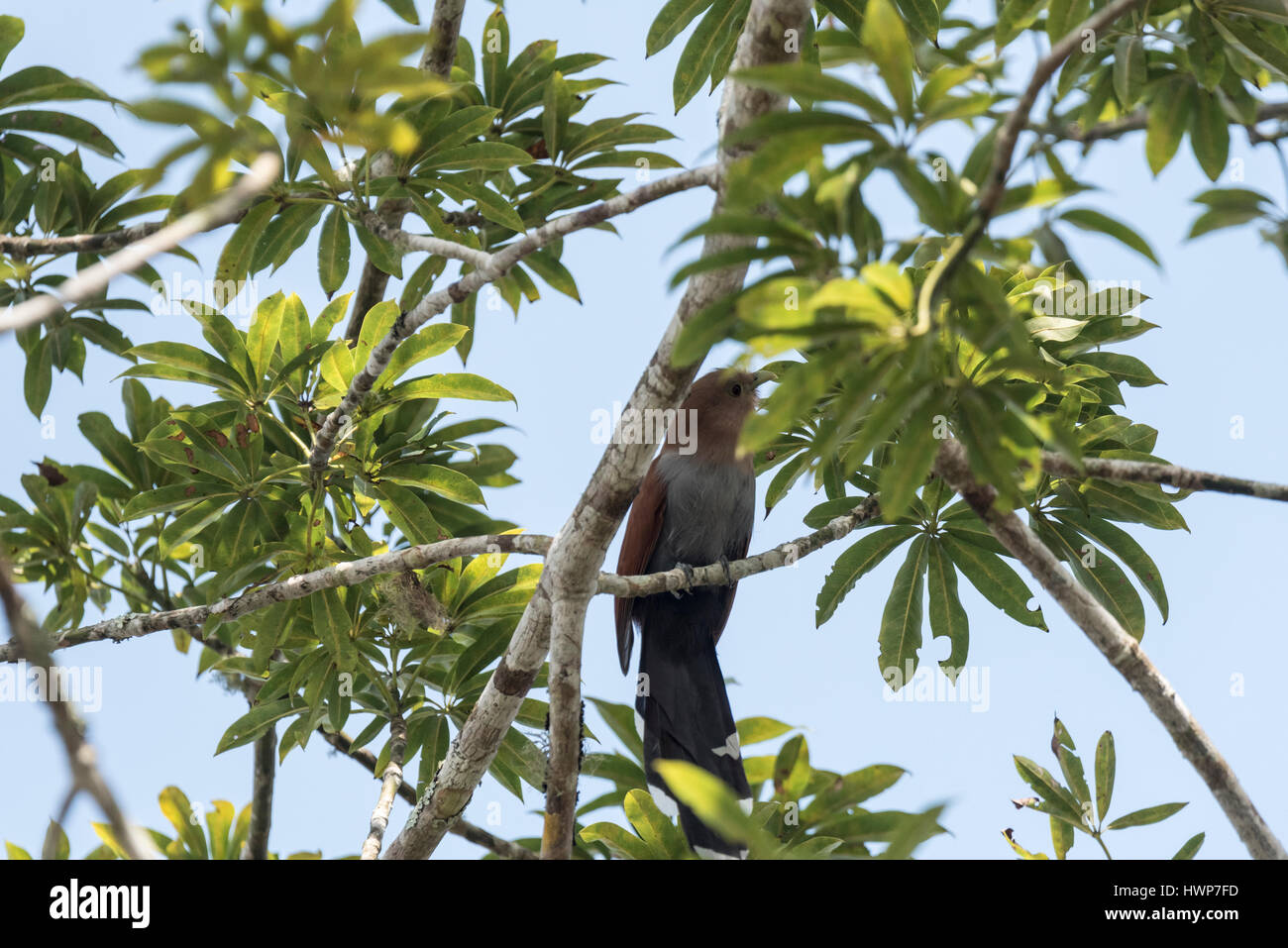 A Squirrel Cuckoo (Piaya cayana) perched in a tree - Stock Image