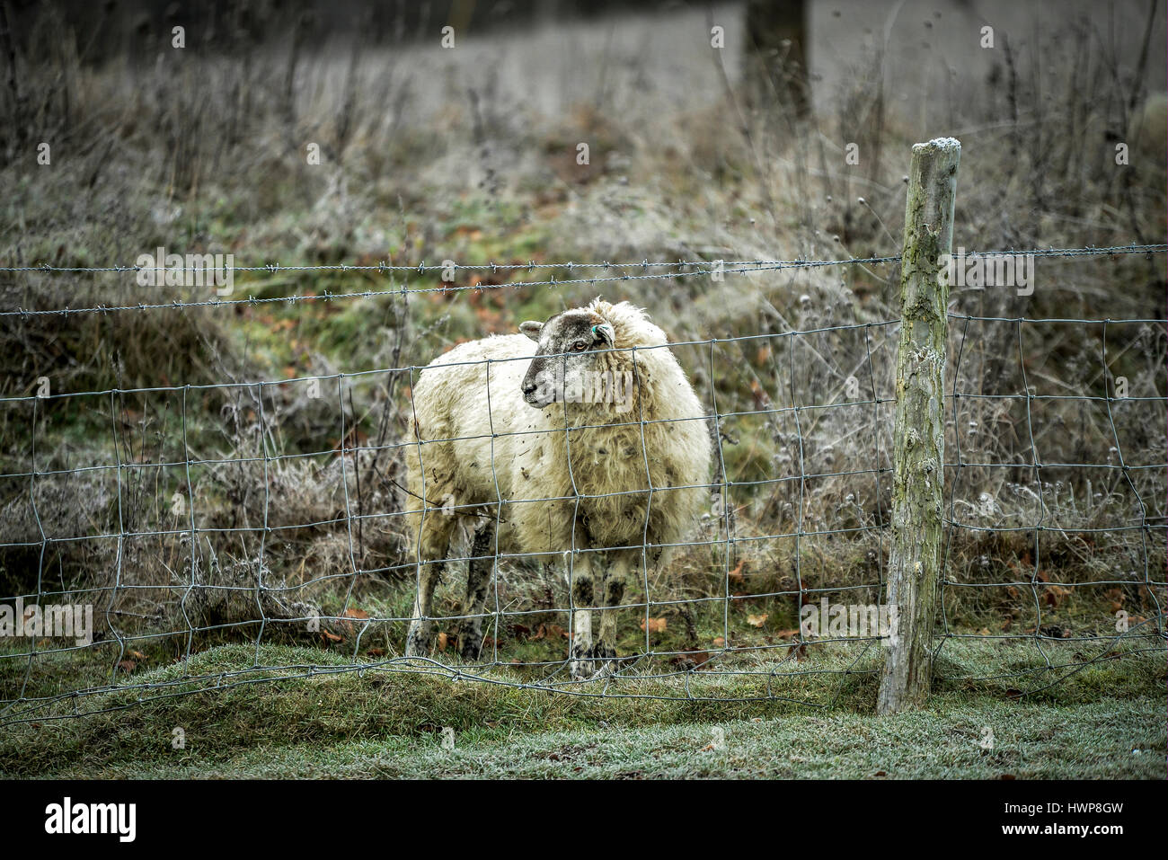 Lone sheep standing in frosty pasture - Stock Image