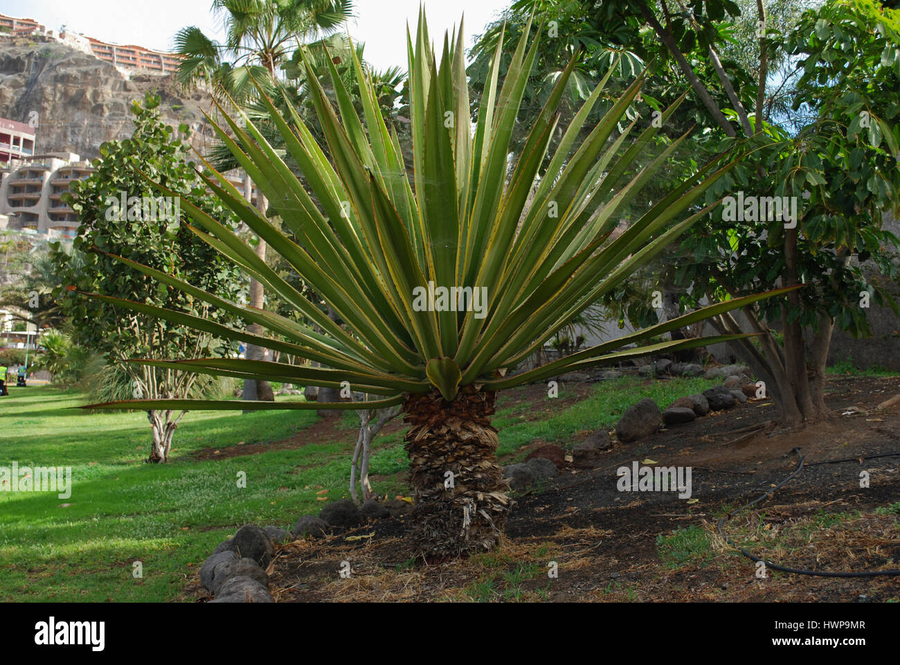 Mojave Yucca (Yucca shidigera) palm in the flowerbed. - Stock Image