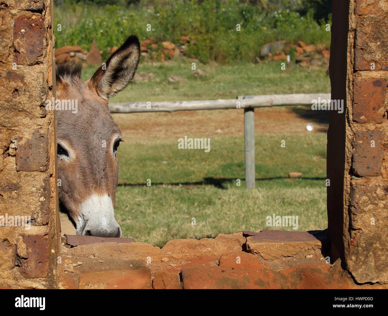 A small grey donkey peeks through the window of a run down old abandoned stable Stock Photo