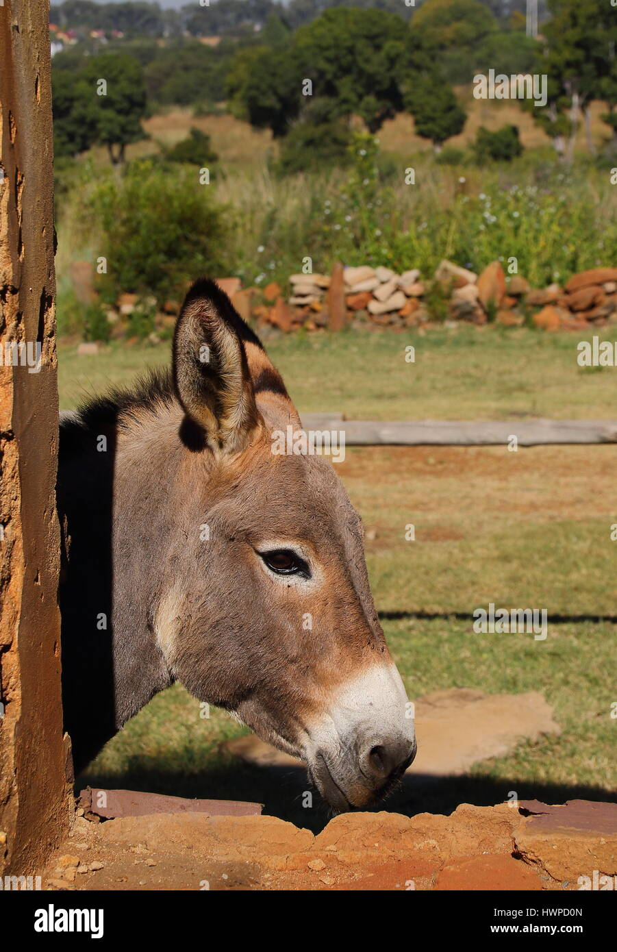 A small grey donkey peeks through the window of a run down old abandoned stable - Stock Image