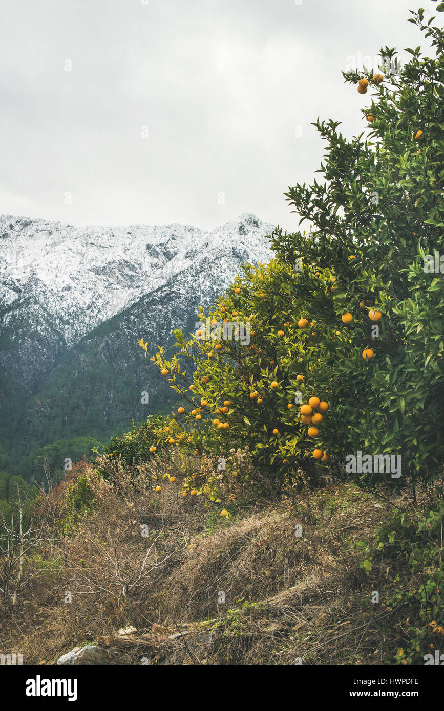 Trees with wild ripe oranges and snowy mountains, Alanya, Turkey - Stock Image