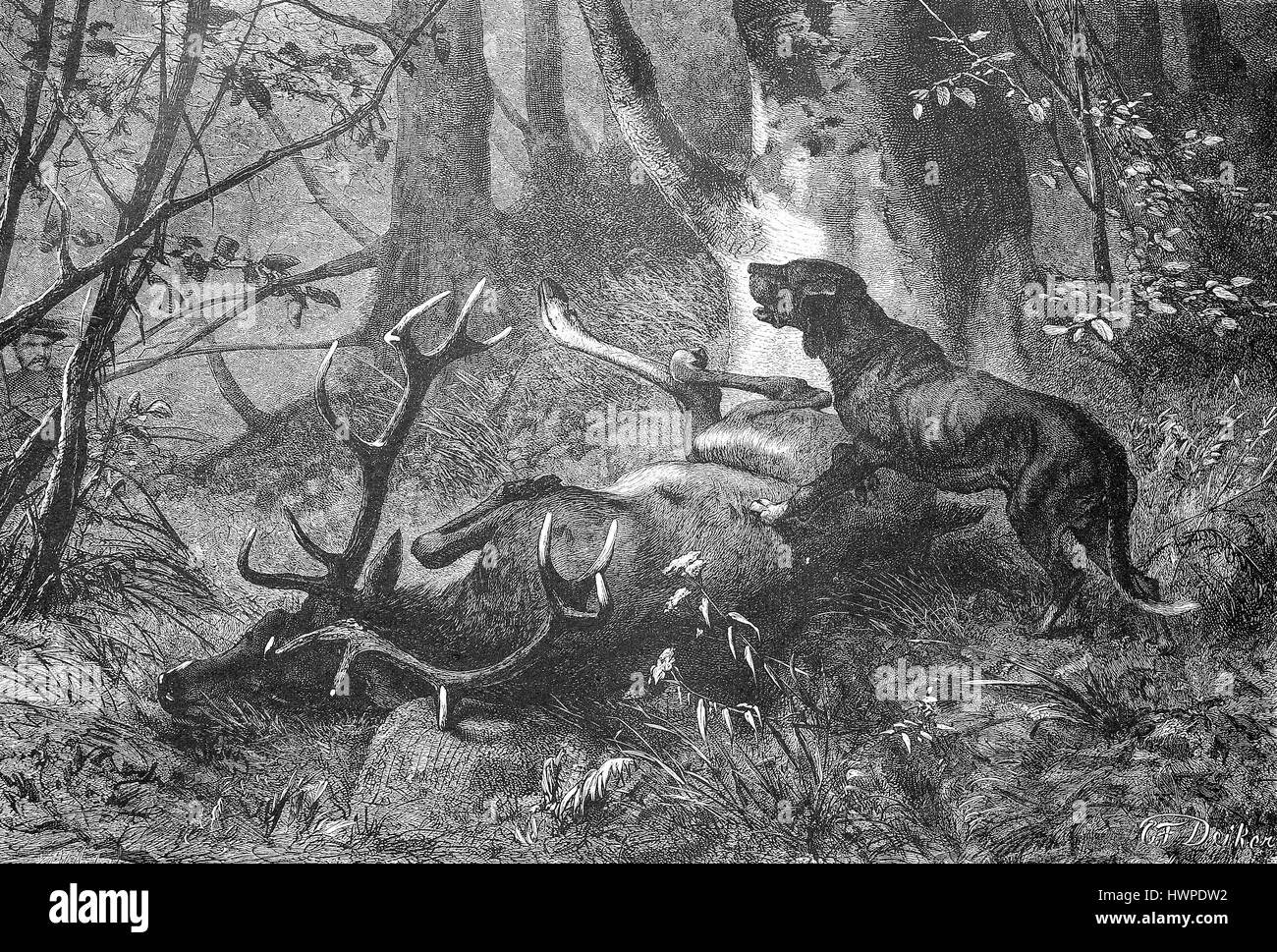 Hunting dog at a death deer in the wood, Reproduction of an original woodcut from the year 1882, digital improved - Stock Image