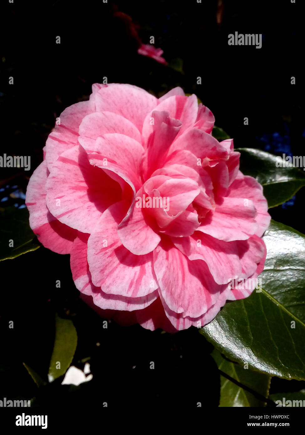 Camellia, double pink bloom, a Japonica, Japanese camellia, Rose of Winter, the official State flower of Alabama, - Stock Image