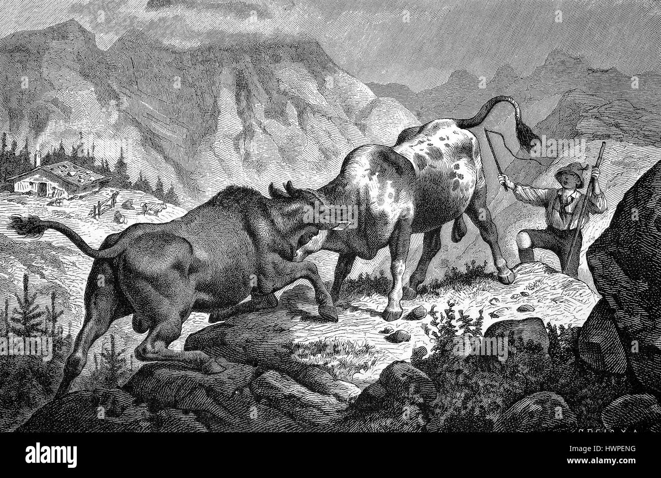 Bullfighting in the Alps, Bavaria, Germany, Reproduction of an original woodcut from the year 1882, digital improved - Stock Image