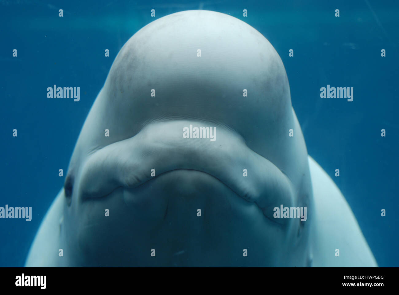 Smiling happy face of a beluga whale under the water's surface. - Stock Image