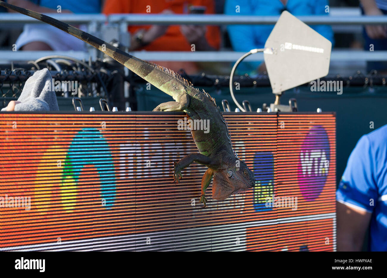 Key Biscayne, Florida, USA. 22nd Mar, 2017. An Iguana jumps off the scoreboard of Court 1, causing a brief play - Stock Image
