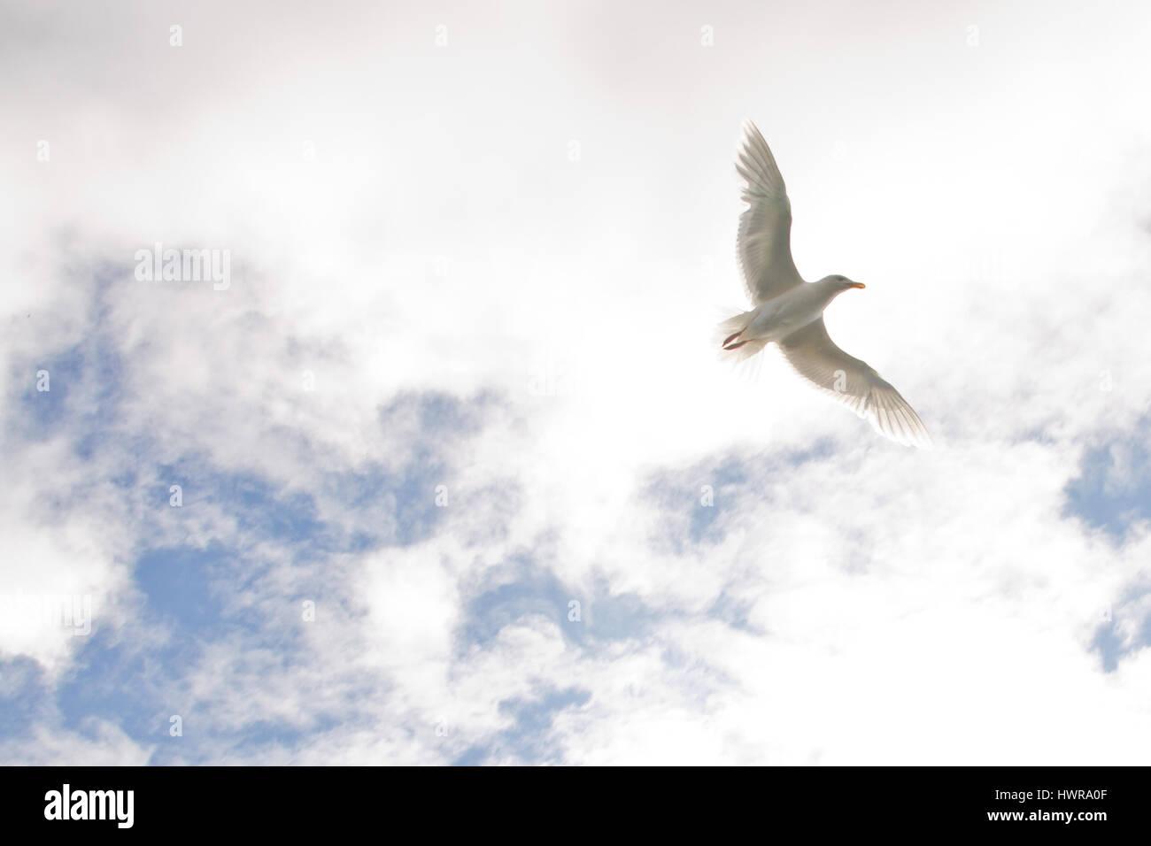 Arctic bird flying in the sky - Stock Image