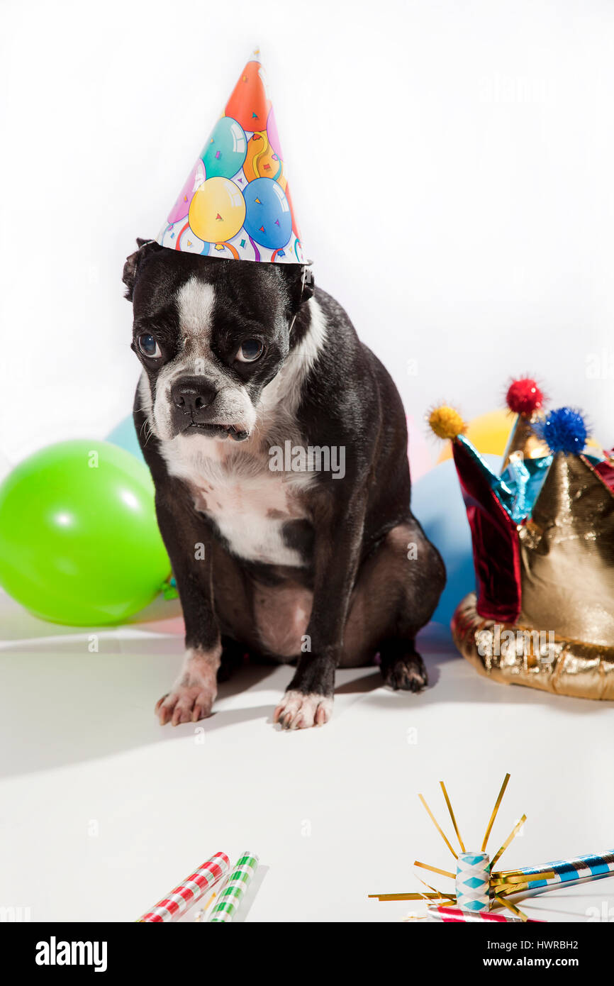 Sad Boston Terrier On Her Birthday Party Colorful Balloons Hats Flutes Isolated White Pouting Dog In Front Of The Camera Girl