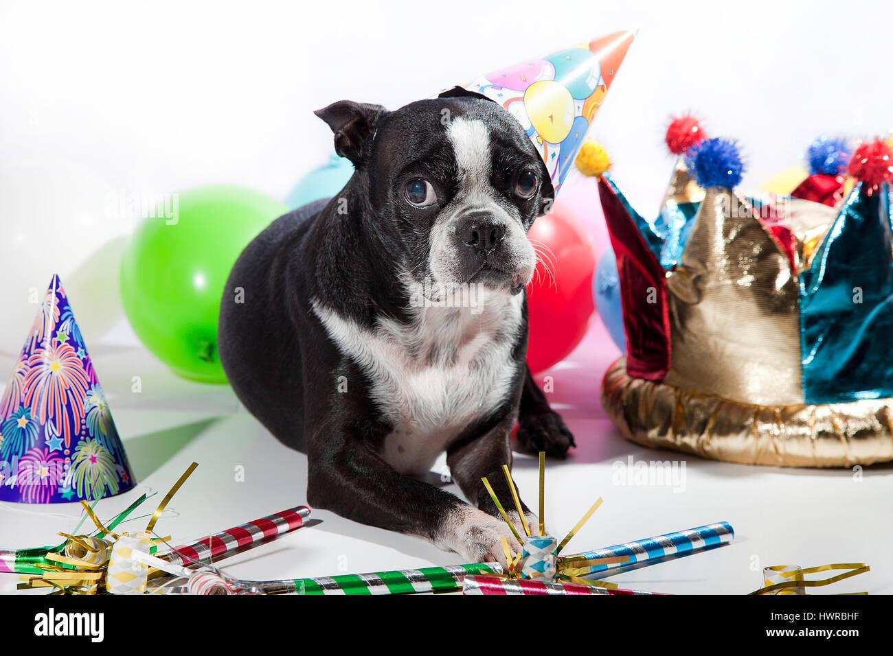 Dog Birthday Stock Photos Dog Birthday Stock Images Alamy