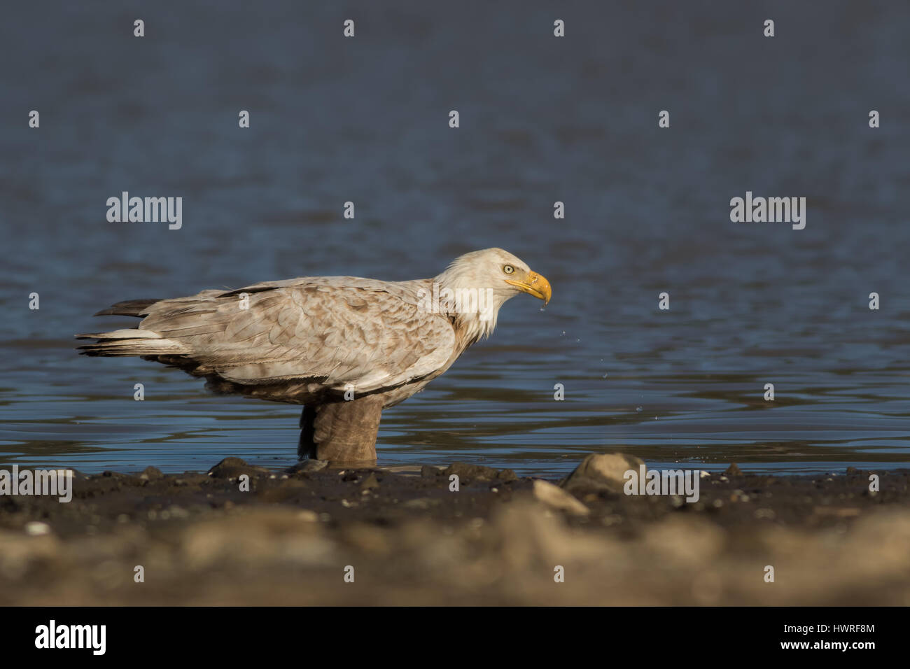 Only 1 in every 1000-2000 Bald Eagles is Leucistic (pigment lacking). This incredibly rare bird takes a brief drink - Stock Image