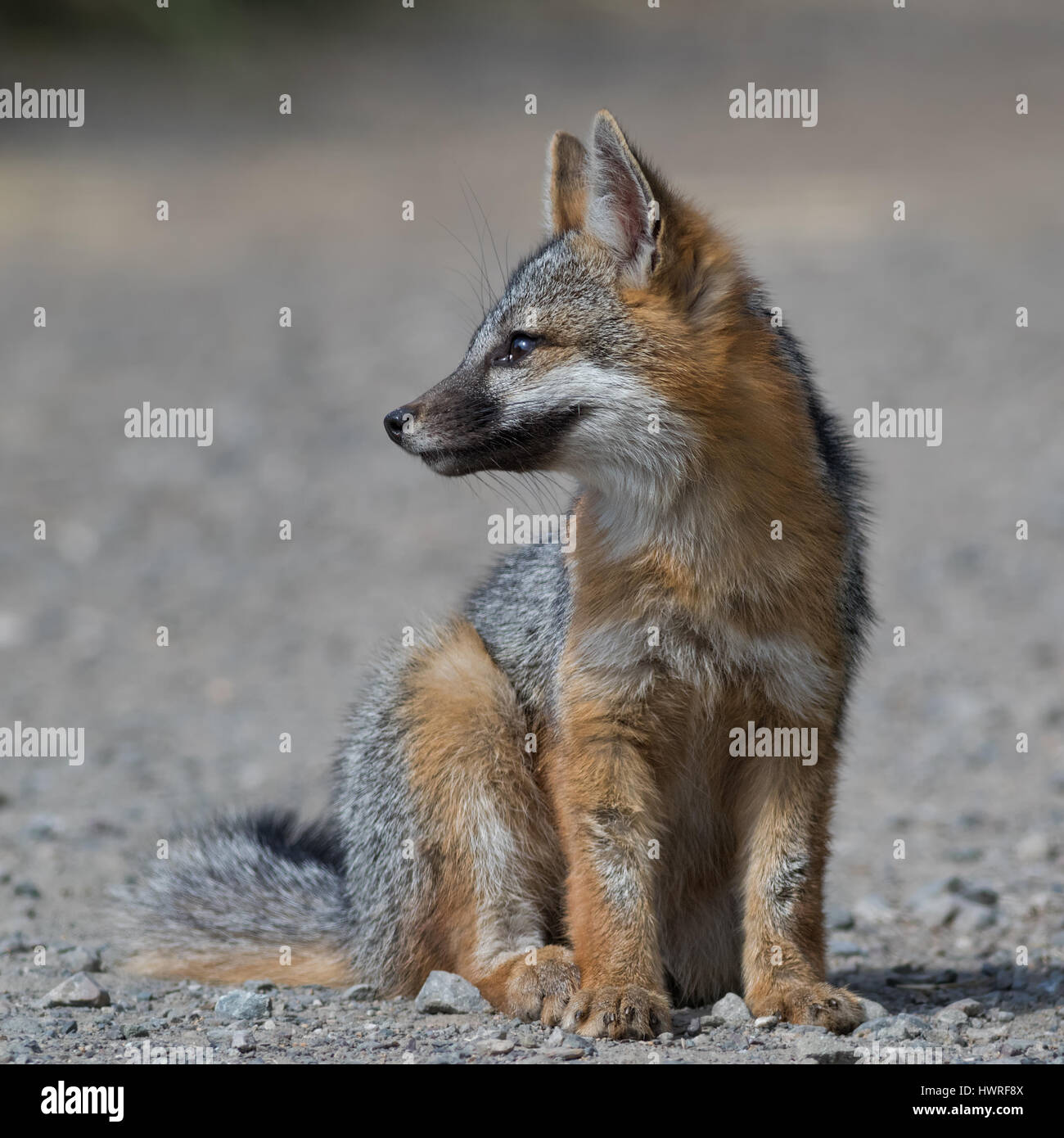 A Gray Fox kit waits patiently for mom to bring prey. This is an unbaited, wild animal. - Stock Image