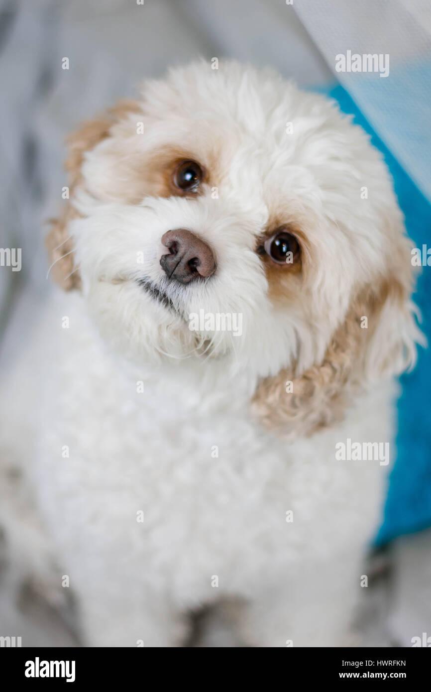 White fluffy dog tilting it's head. - Stock Image