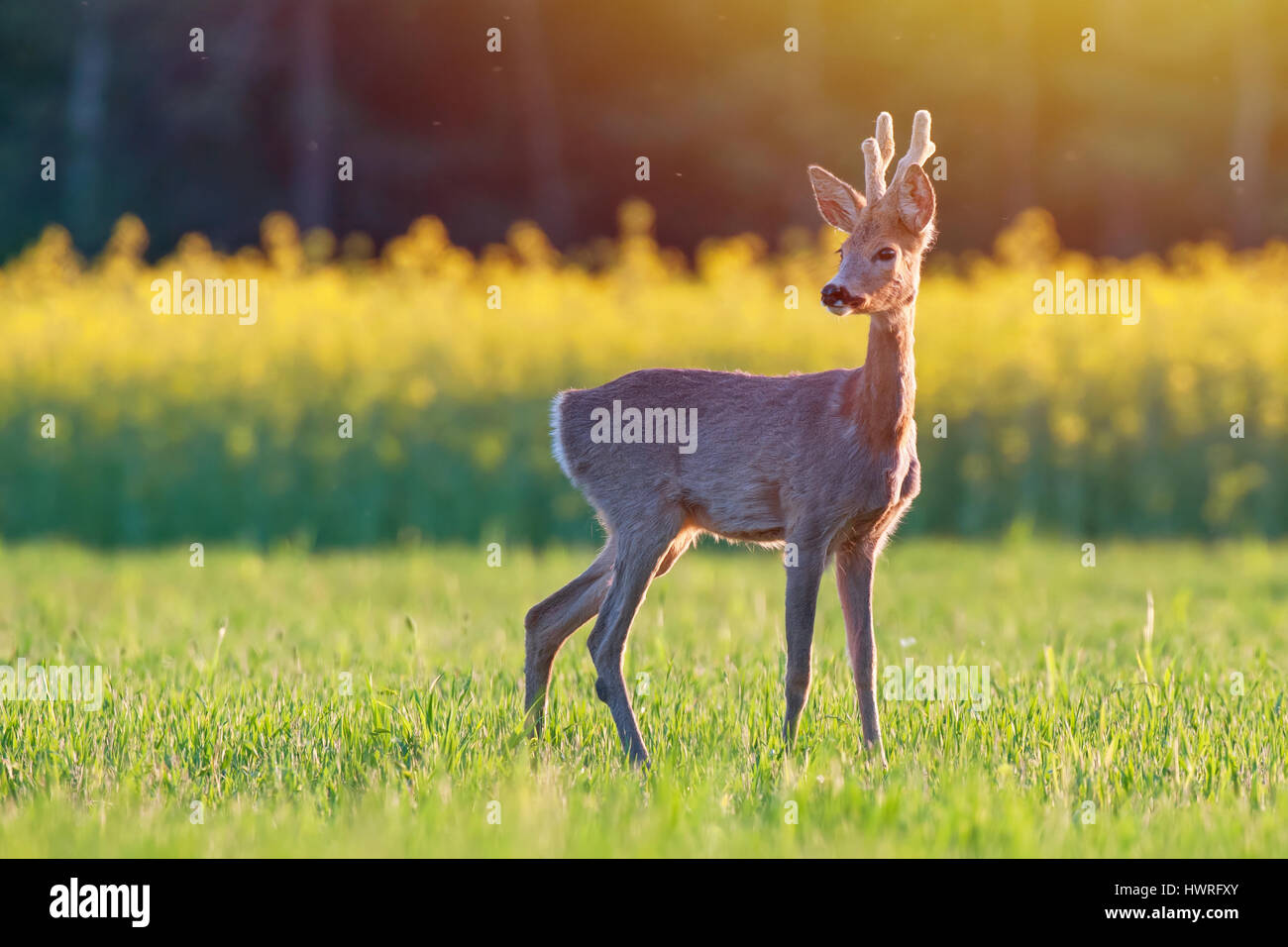 Wild roe deer in a field at sunset - Stock Image
