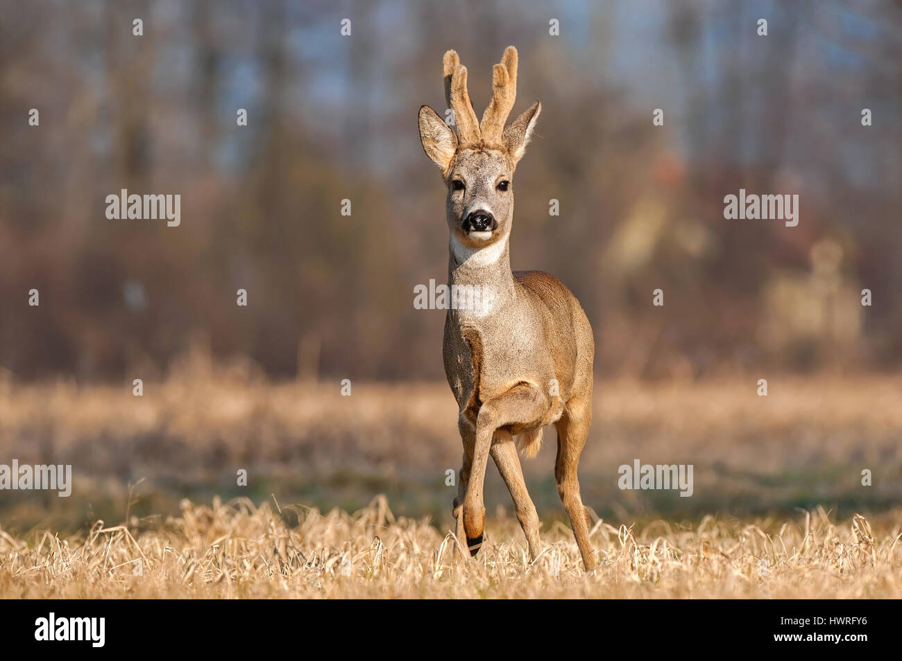 Wild roe buck standing in a field - Stock Image