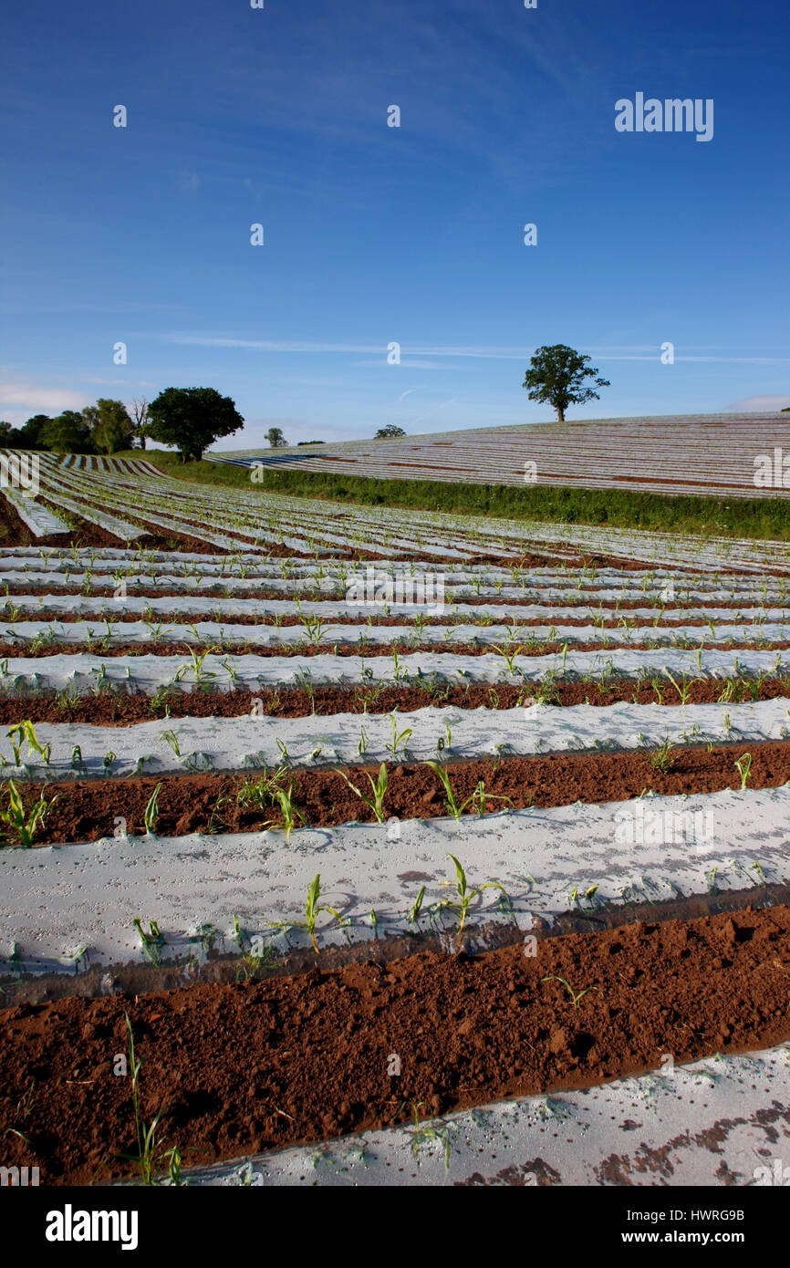 Agricultural technology, high humidity polythene propagators on open fields at Bromyard in Herefordshire, to artificially - Stock Image