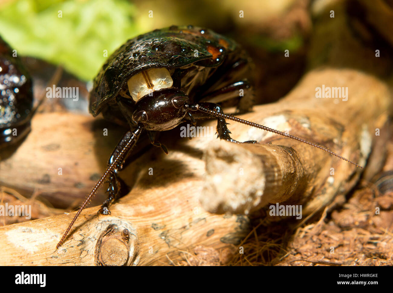A Madagascar hissing cockroach on a branch - Stock Image