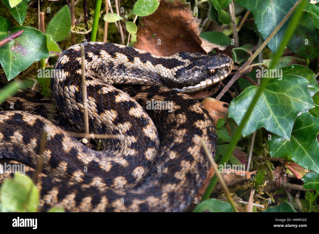 An Adder snake - Stock Image