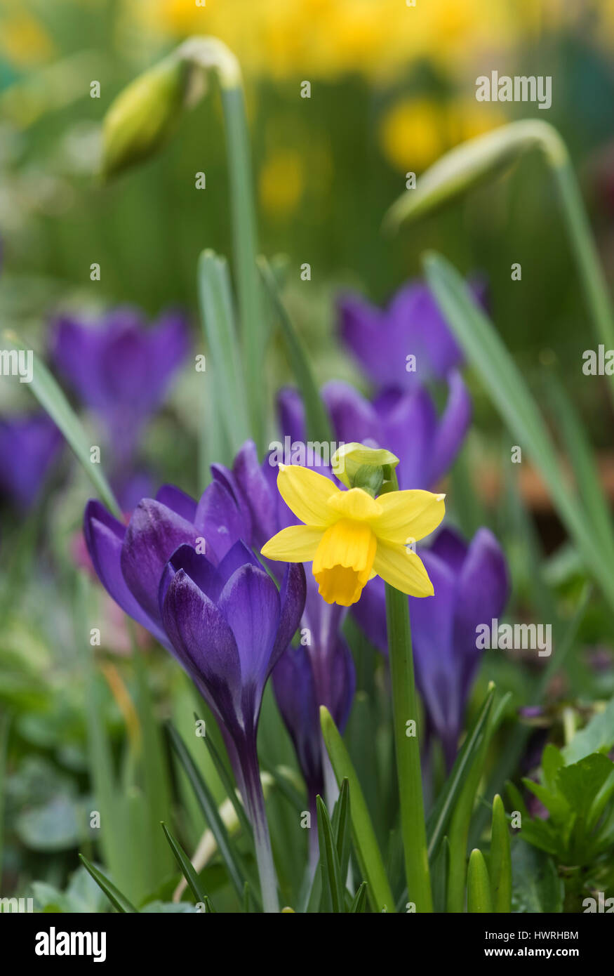 Daffodil And Crocuses Early Spring Flowers Uk Stock Photo