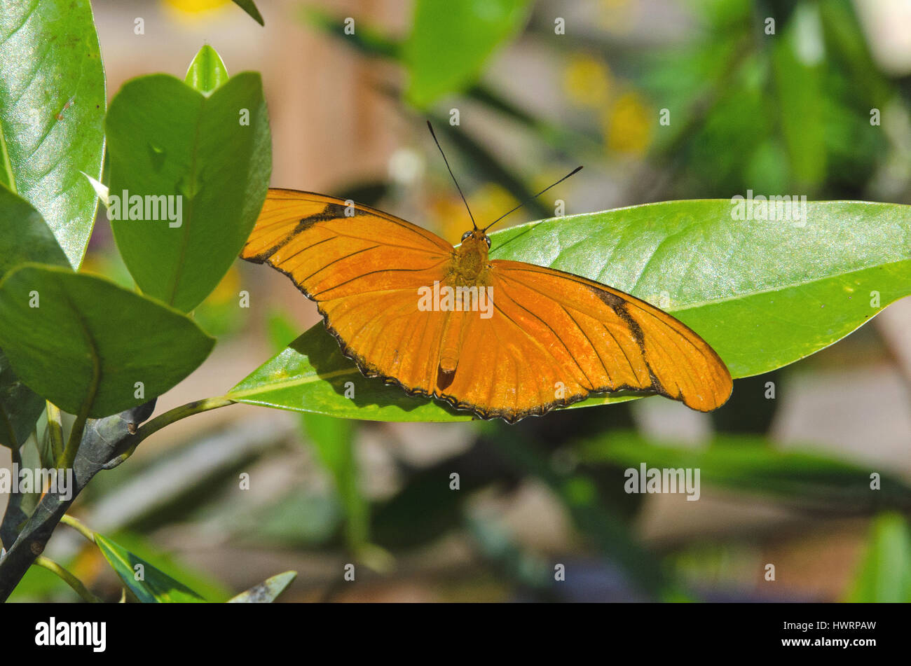 Julia Butterfly pauses to rest on green leaves. - Stock Image