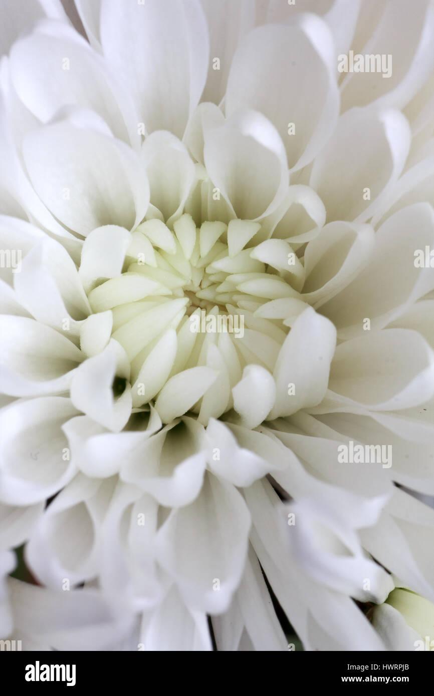Macro Of White Chrysanthemum Flowers Blooming Stock Photo 136361635