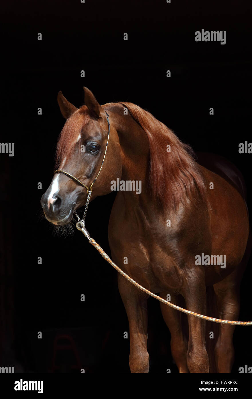 Head shot of a bay arabian horse against a dark stable background - Stock Image