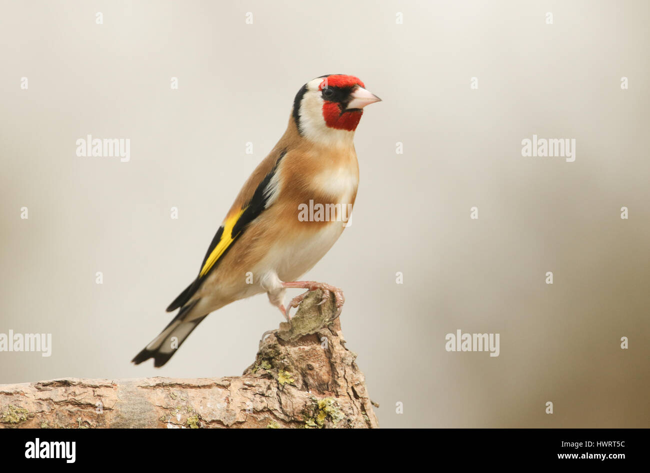 A pretty Goldfinch (Carduelis carduelis) perched on a branch. - Stock Image