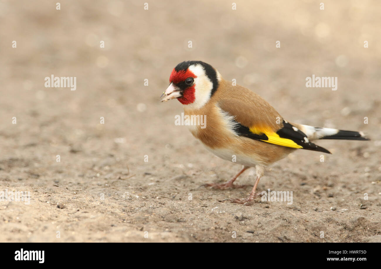 A stunning Goldfinch (Carduelis carduelis) perched on the ground looking around for food. - Stock Image