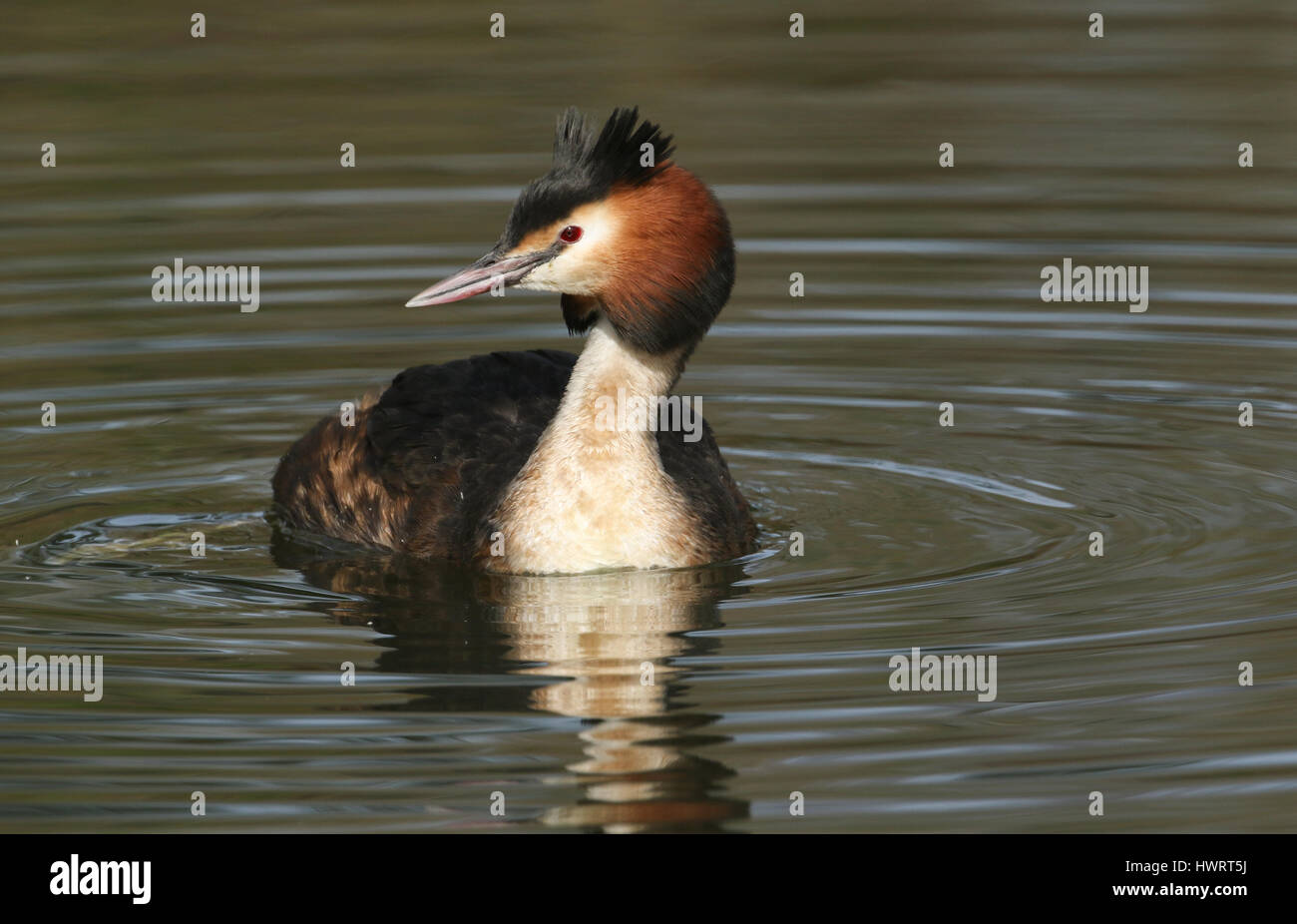 A stunning Great crested Grebe (Podiceps cristatus) swimming on a river. - Stock Image
