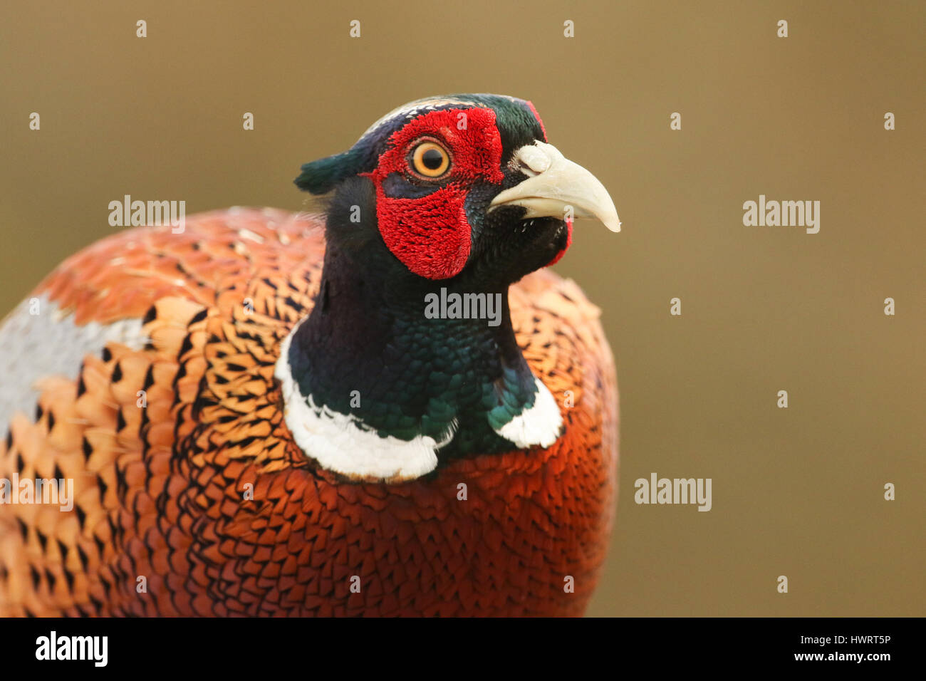 A head shot of a beautiful male Pheasant (Phasianus colchicus). - Stock Image