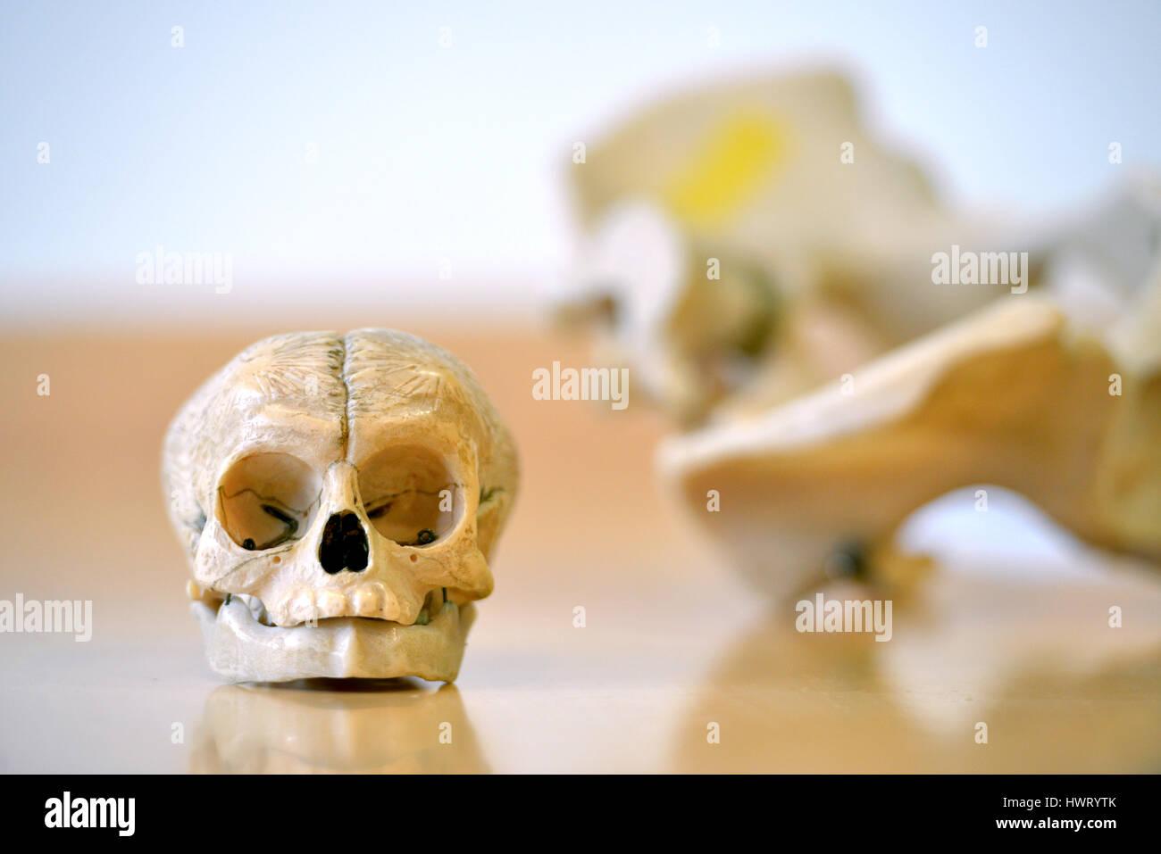 Resin infant skull for medical training Stock Photo