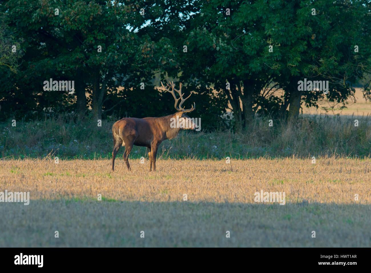 Red Deers ( Cervus elaphus) in mating season Stock Photo