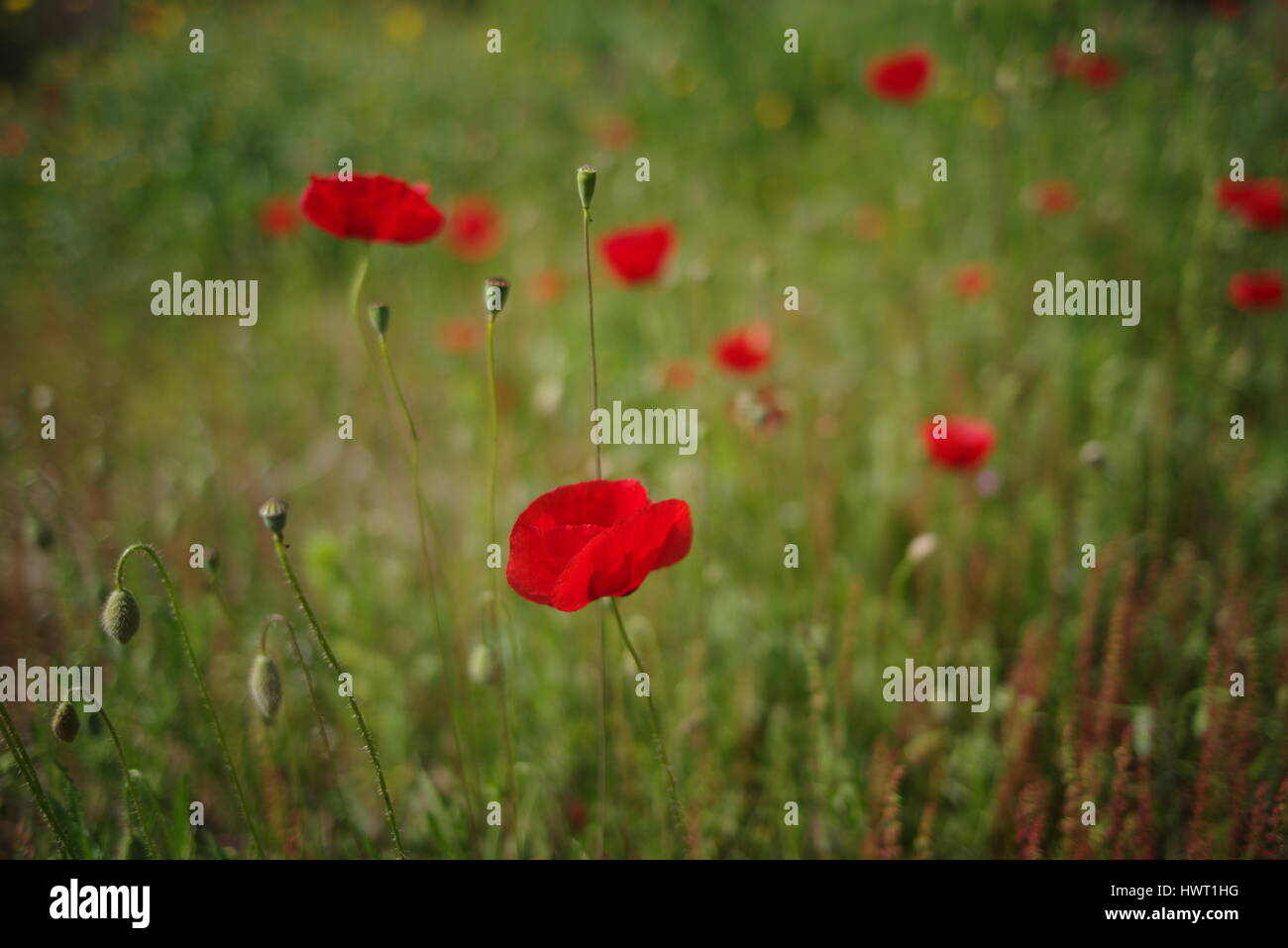 Heroin opium poppy stock photos heroin opium poppy stock images 2017 new photo picture of poppy and poppies in field to show red and green mightylinksfo