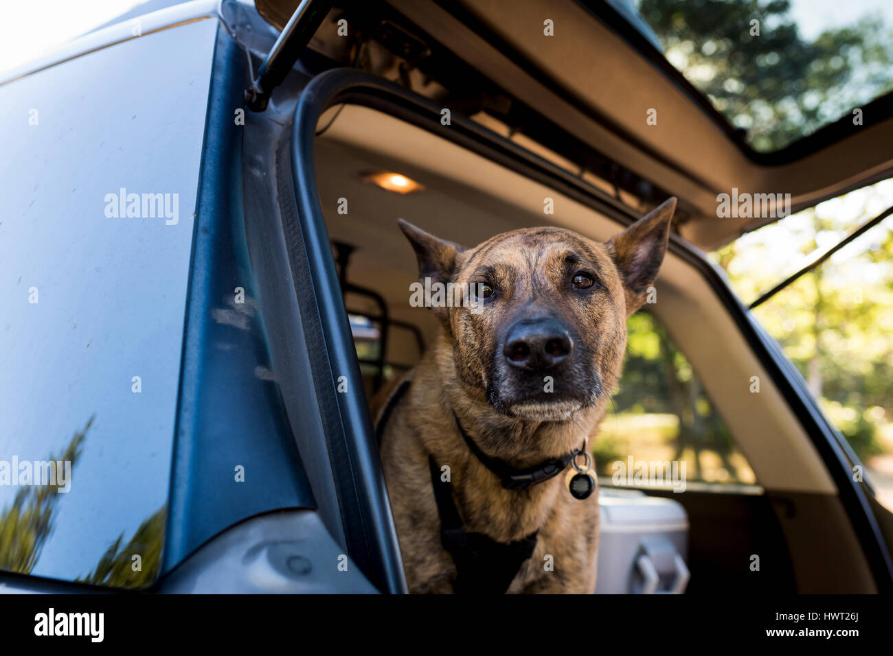 Portrait of dog in car trunk - Stock Image