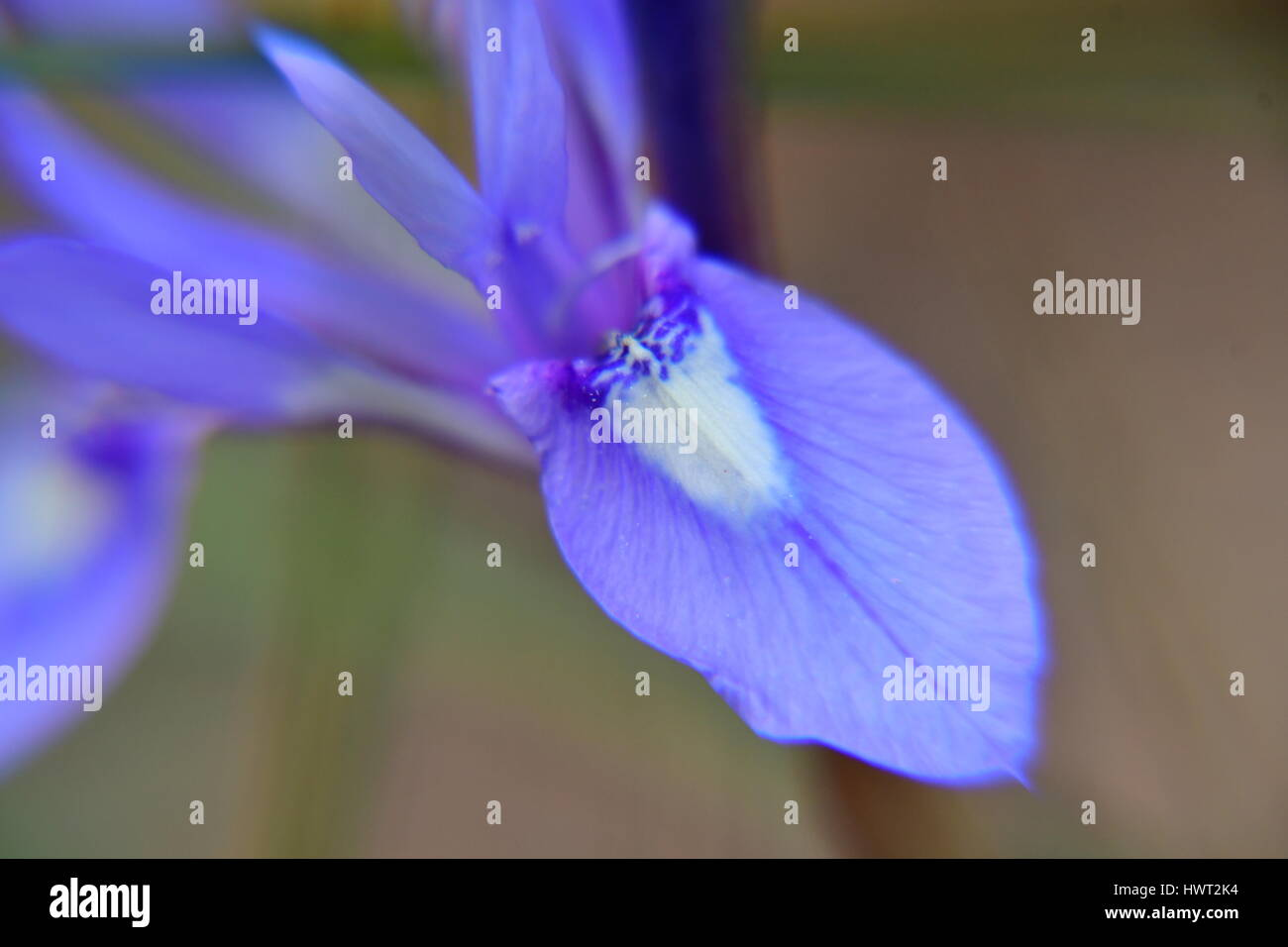 Nafplio. Greece, 22th March 2107.The iris  is a genus of flowering plants monocots, the order of Leiriodon (Liliales), - Stock Image