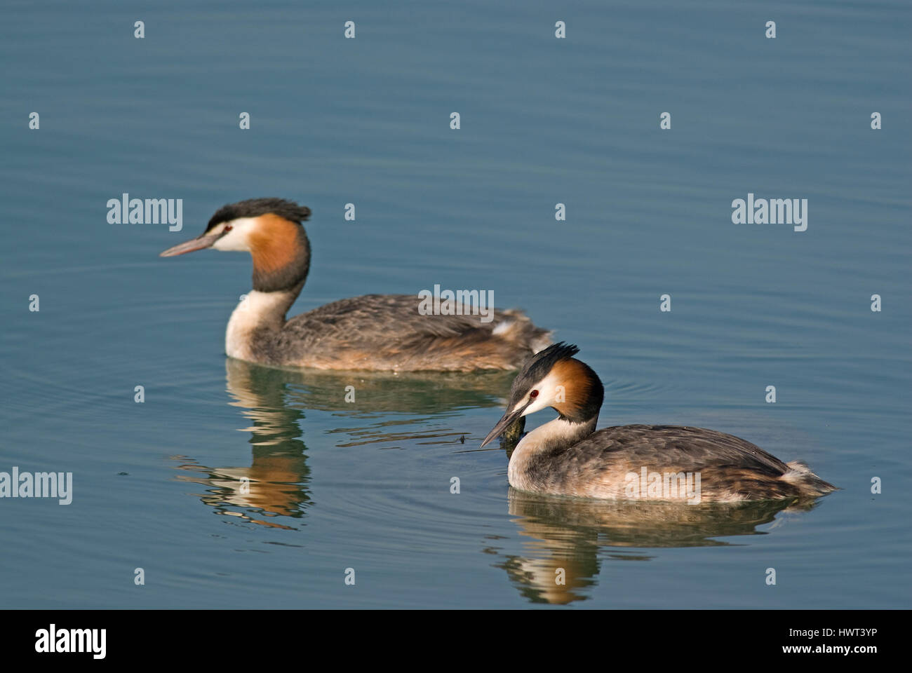 Couple of great crested grebes (Podiceps cristatus), courtship ritual, Lake Trasimeno, Umbria, Italy, Europe - Stock Image