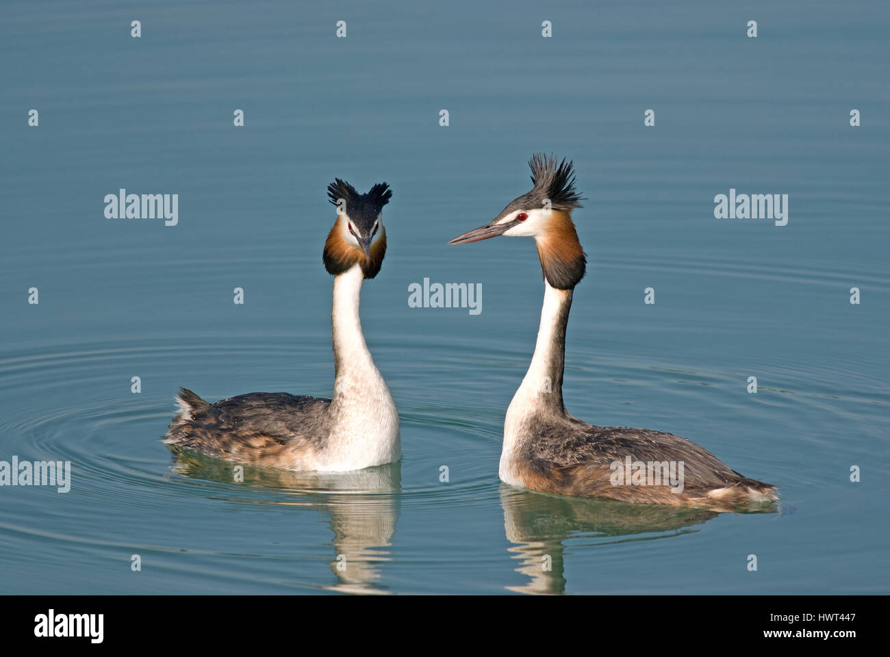 Couple of great crested grebes (Podiceps cristatus), courtship ritual, Lake Trasimeno, Umbria, Italy, Europe Stock Photo