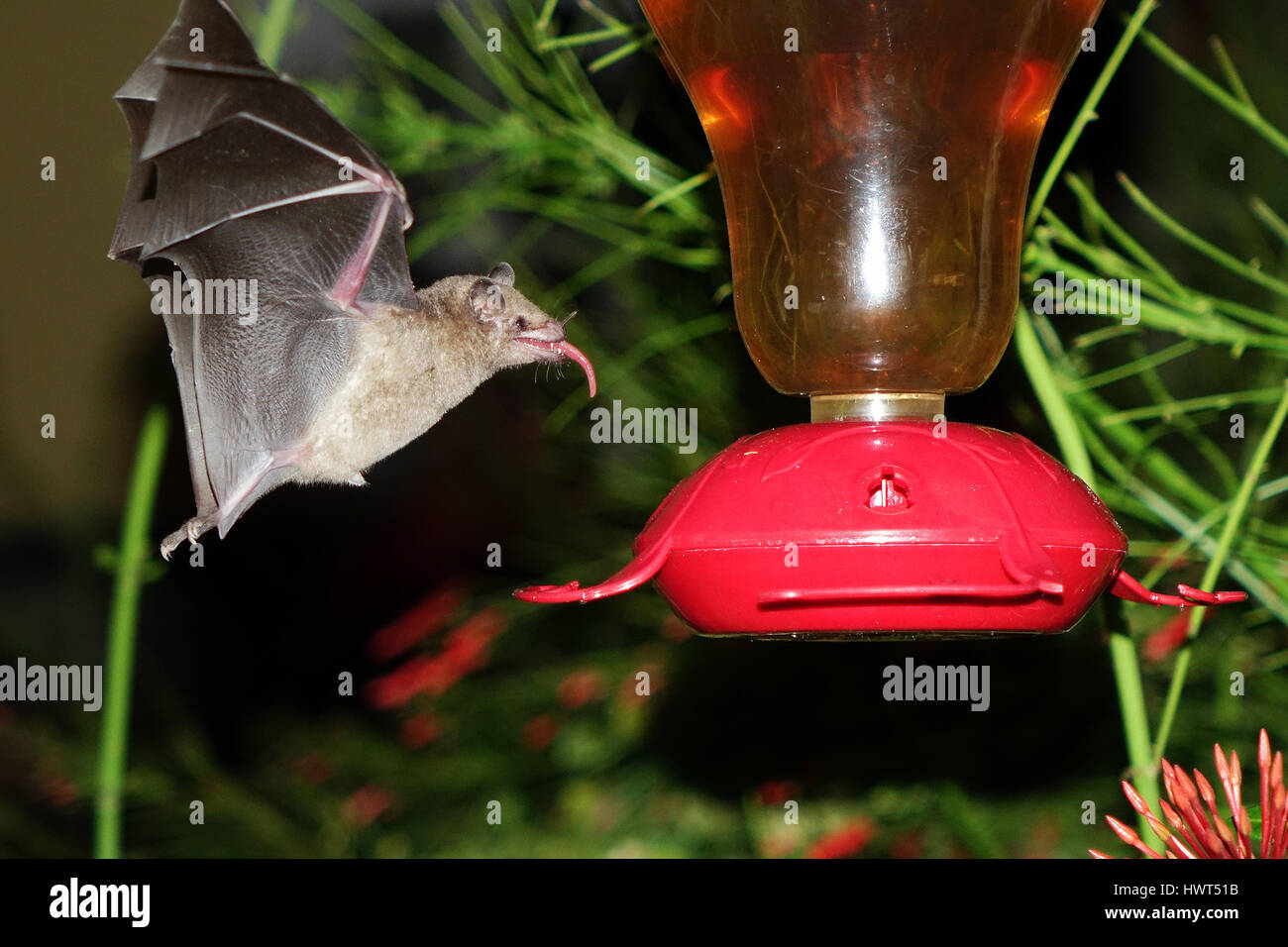 Bat flying and searching for food Stock Photo