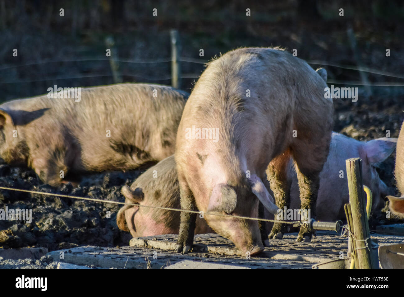 Dirty pigs outdoor in winter light closeup Stock Photo